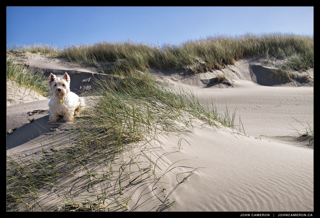 Cameron the Westie on Manzanita Beach