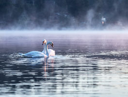 Swans at Sunrise in Fulford Harbour