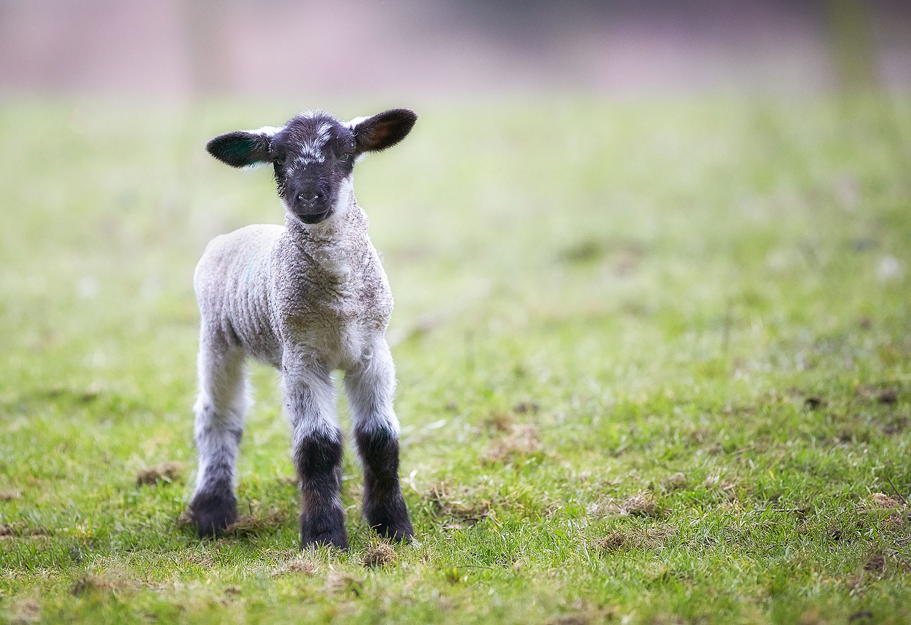 Lamb ©johncameron.ca