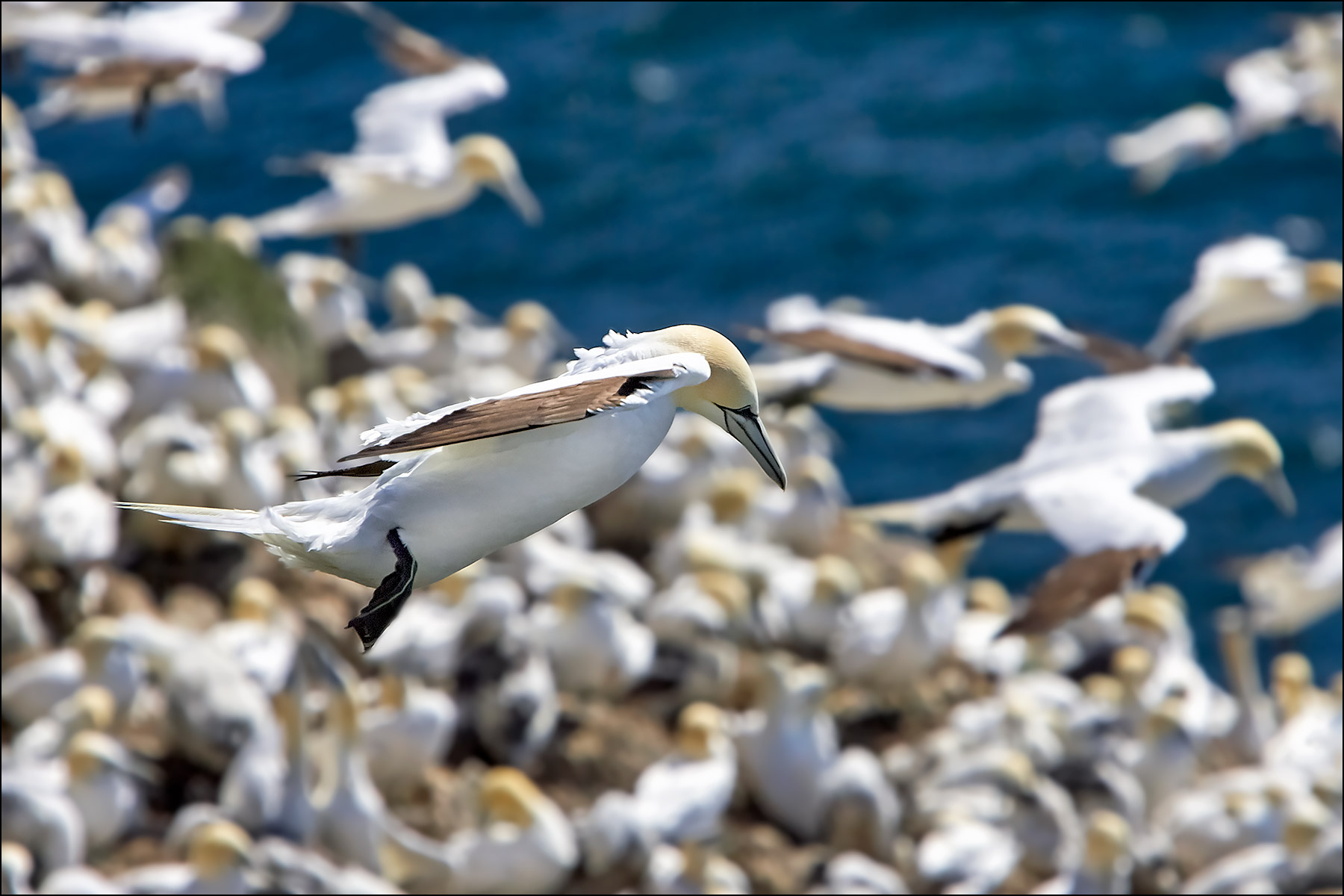 Northern Gannet, Cape St. Mary's Ecological Reserve