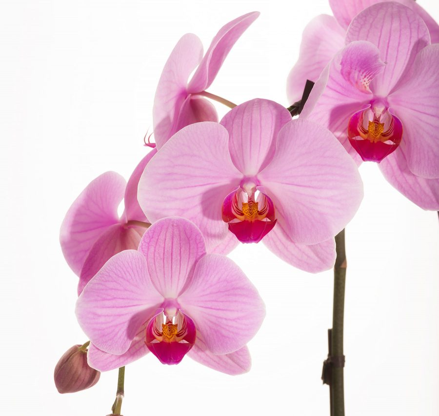 Orchids © johncameron.ca