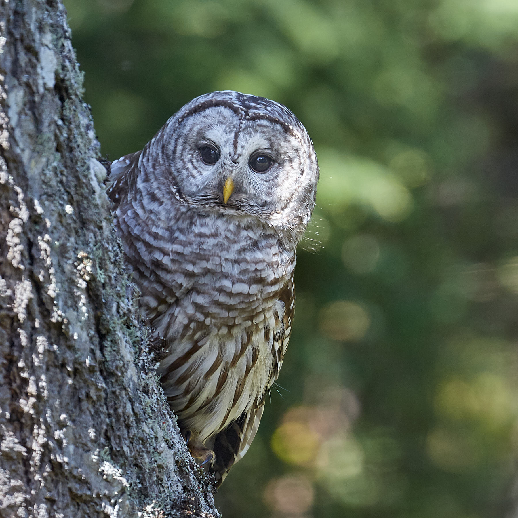 Barred Owl on Douglas Fir, hunting in the afternoon. ©johncameron.ca