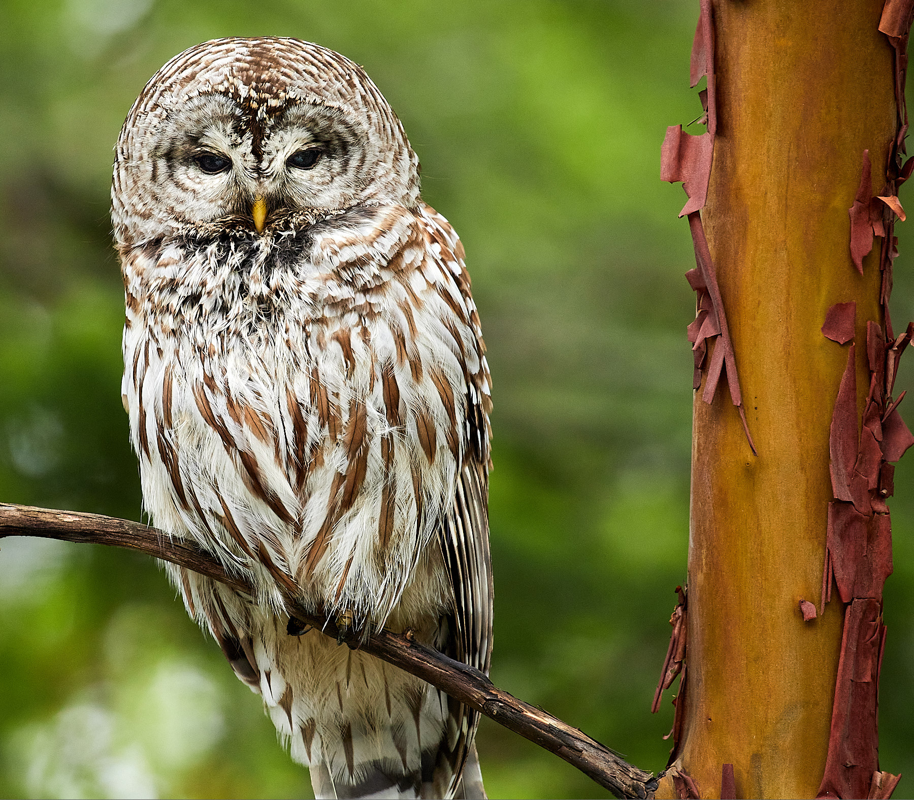 Barred Owl visits us during COVID-19 ©johncameron.ca